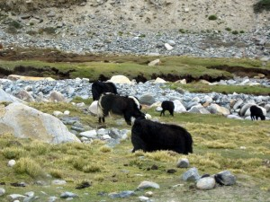 Yaks_in_ladakh