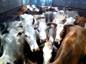 रेलों के जरिये बढ़ रही है गायों की तस्करी