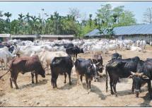 पुलिस ने 750 से अधिक गायों को तस्करों से मुक्त करवाया, 12 गिरफ्तार