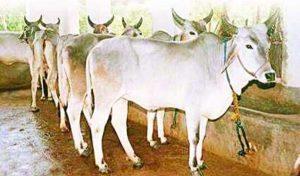 सिर्फ भावनात्मक नहीं गौ प्रेम, वैज्ञानिकों ने भी माना वरदान है भारतीय नस्ल की गाय