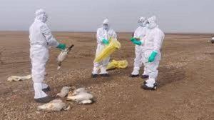 देश में फैल रहा बर्ड फ्लू का संक्रमण, मध्यप्रदेश में पक्षियों की मौत