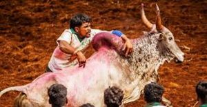 Tamil Nadu – All set for another round of Jallikattuphobia
