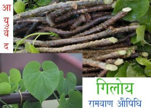 Giloy Damages Liver is completely Misleading, Says Ayush Ministry